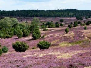 Lüneburger Heide - optimale Reisezeit vom 8. August bis zum 9. September