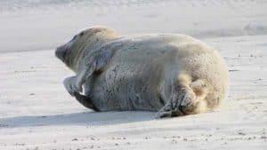 Auf dem Weg nach Borkum lassen sich Seehunde auf den Seehundbänken beobachten