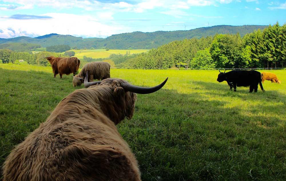 Hochlandrinder im Schwarzwald